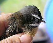 A Bird in the Hand (New Zealand Native Fantail - Piwakawaka)