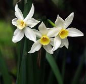 Three Spring Jonquils