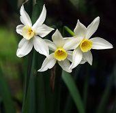 Three Spring Jonquils