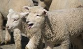 picture of the lost sheep  - I - JPG