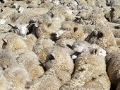 Shag pile carpet on the hoof
