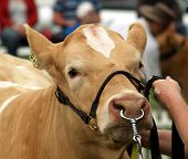 Simmental heifer held by a halter & nose clamp