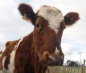 An Ayrshire Cow looking at the camera
