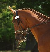 Dressage horse with evening light accentuating the rich colour of the horse
