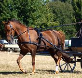 A carriage pony working at a trot