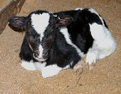Day old Friesian  calf on a bed of sawdust