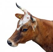 Ayrshire Crossbred Cow isolated