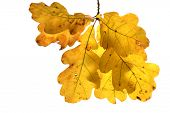 autumn oak twig with yellow leaves on white