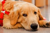 Closeup Face Of Adorable Golden Retriever Lying On The Floor In The House. poster