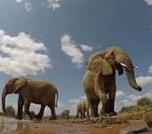 African Elephants. Close up view Elephant herd in Kenya poster