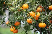 eine Fülle von Orangen oder Clementinen, auf einem Baum im Winter, mit Regenwasser tropft von Ihnen