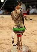 A falcon sits on its stand at a desert camp in Qatar, Arabia, while (out of focus) Arabs in Gulf rob