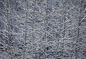 Aspen And Snow Nature Abstract