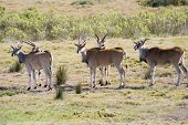 stock photo of eland  - Small herd of Eland  - JPG