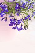 pic of lobelia  - Blue lobelia blooming flowers in the pink vase background - JPG
