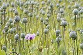 picture of opium  - Opium poppy Papaver somniferum grown for the production of medical opiates - JPG