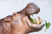 hippopotamus eating vegetable in a zoo on white background