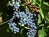 Bunch of ripe red grapes in vineyard