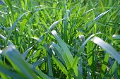 foto of fescue  - Background close up shot of green grass blades - JPG