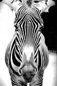 Cebra blanco y negro