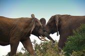 to fighting elephant bulls