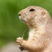 Cute Prairie Dog Eating