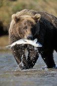 picture of omnivores  - Grizzly Bear catching a salmon standing in a river - JPG