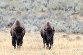 image of lamar  - Two Buffalo on the plains at Yellowstone - JPG