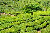Tee Plantage - Malasia