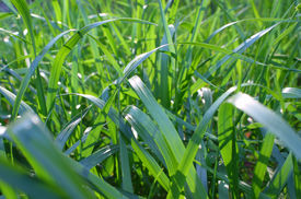 pic of fescue  - Background close up shot of green grass blades - JPG