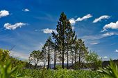 Pine Trees Form A Triangle By Lake Tahoe