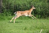 Young Buck Running On Pasturage