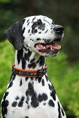 Porträt des schönen Dalmatiner Hündin
