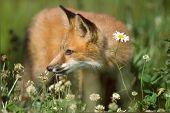 Daisy Fox