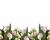 pic of calla lily  - Image composition of pink calla lilies for wedding birthday party invitation border or frame with copy space - JPG