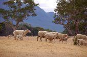 Sheep Grazing Grampians Victoria
