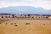 Cows Grazing Grampians Victoria