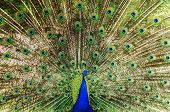 Peacock Wheel
