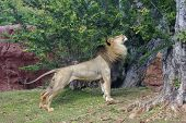 Lion In Spring
