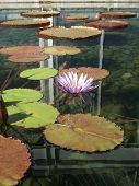 Lilly Pad Pool