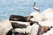 Patagonian Sea Lions And Peruvian Pelican