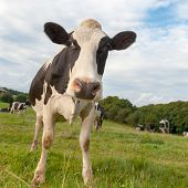 Cow in the meadows