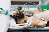 picture of anesthesia  - A dog in lying unconscious in a veterinarian clinic while a surgeon is sterilizing her - JPG