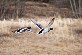 pic of male mallard  - Two male mallards in flight together in the air - JPG