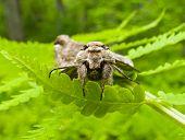 Butterfly Hawk Moth