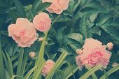 Pink peonies against a grass