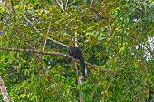 Sakis In einem Regenwald-Baum