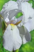 Flower Of Bearded Iris Closeup