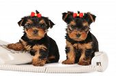 Two Puppies Sitting By The Phone