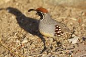 image of quail  - a nice colorful male gambel - JPG